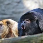 Howler_monkey